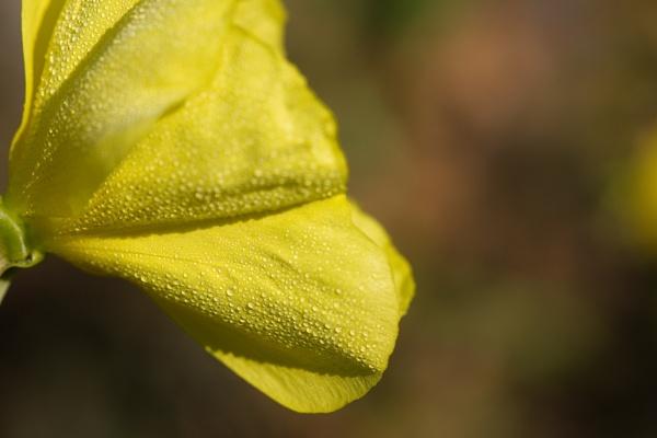 Morning primrose by KatieR