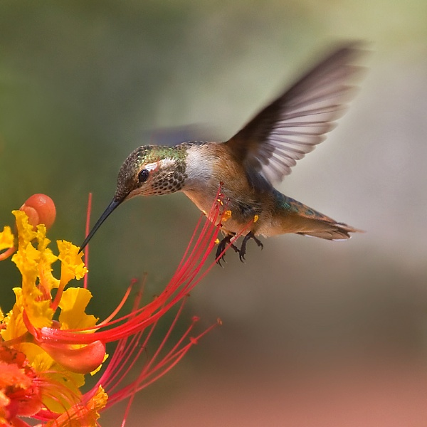Hummingbird by PLCimagery