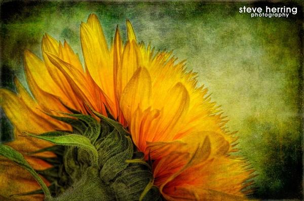 Sunflower. by sherring