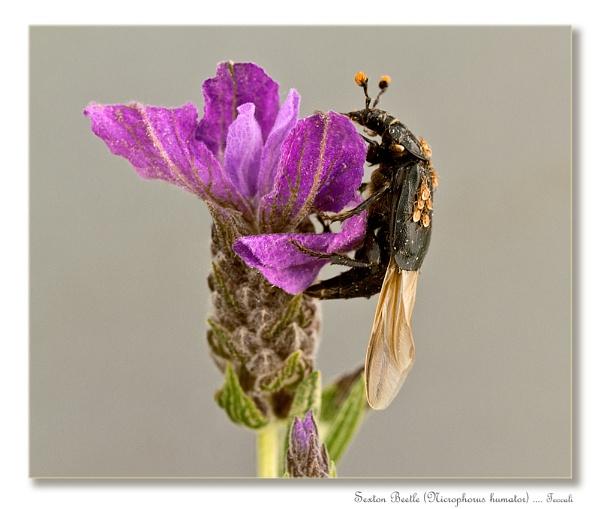 Sexton Beetle (Nicrophorus humator) by teocali
