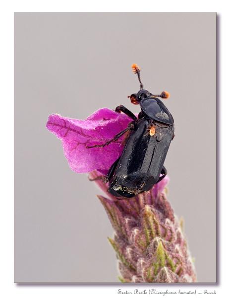 Sexton Beetle (Nicrophorus humator) 2 by teocali