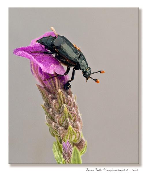 Sexton Beetle (Nicrophorus humator)3 by teocali