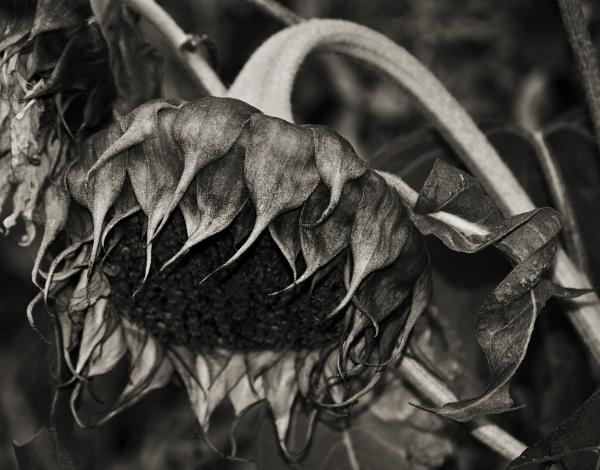 Dead Sunflower by Audran