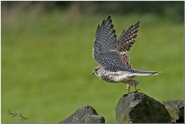 kestrel taking off by p147180r