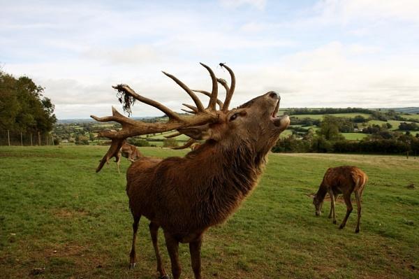 Deer by min