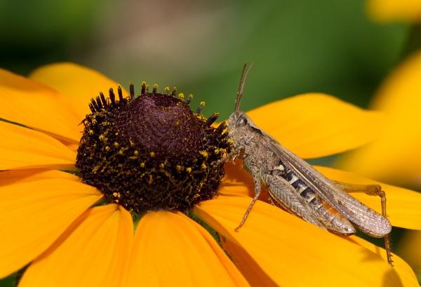 Grasshopper by KatieR