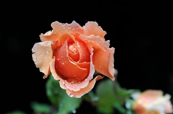 Rose after a summer shower by Kentoony