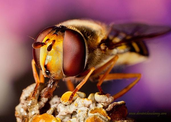 Hoverfly sharpened by irishdomo1