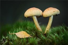 Twin Shrooms