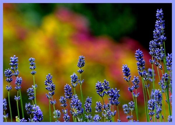 Lavender & Beyond by dnwilliams