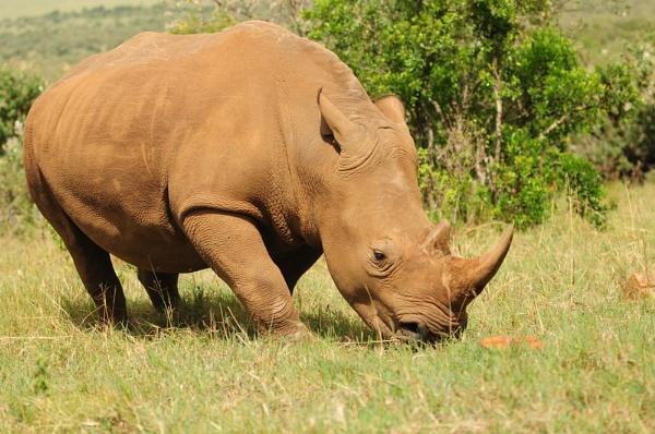 White Rhino by HP1485