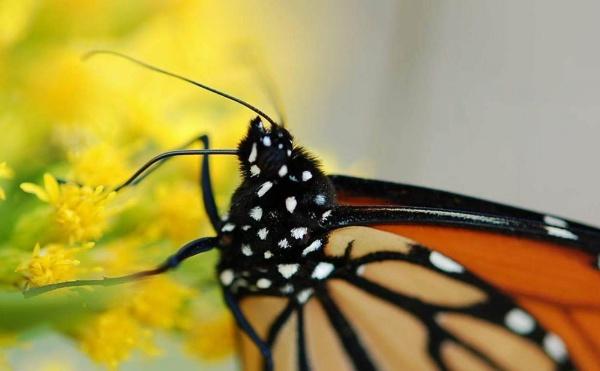 Monarch Migration 2011 by SJAlfano