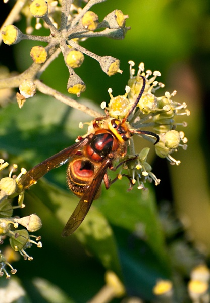 Hornet on ivy by theangler56