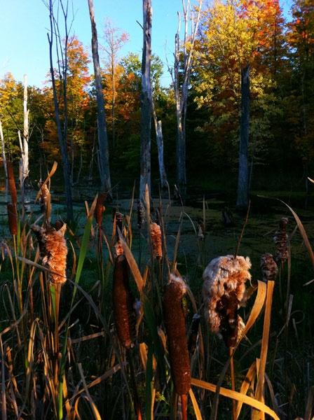 Autumn Cattails by TrevorB
