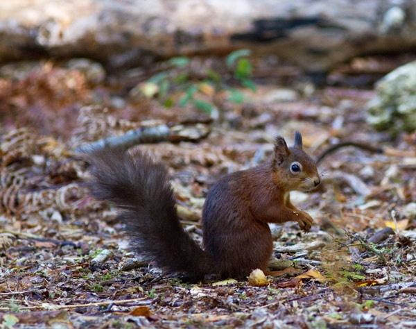 Brownsea squirrel by wonkers