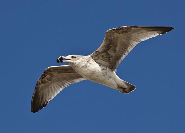 Seagull in flight by BobbyK