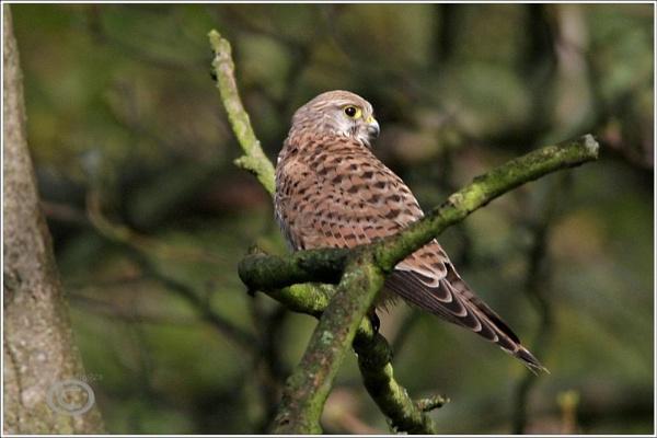kestrel in the oak by p147180r