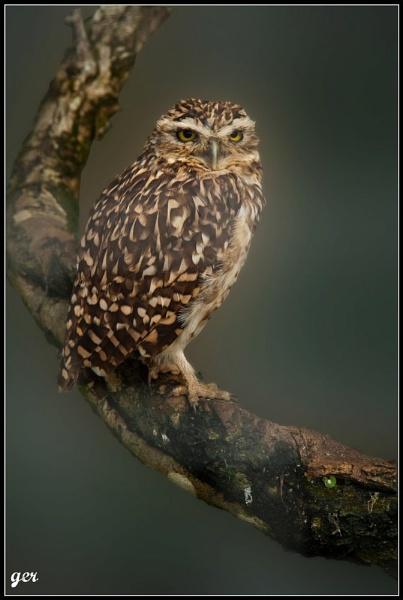 burrowing owl by yaco