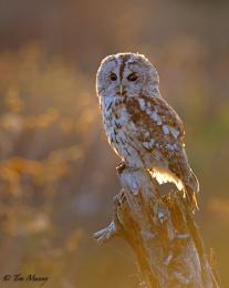 Tawny Owl at Sundown