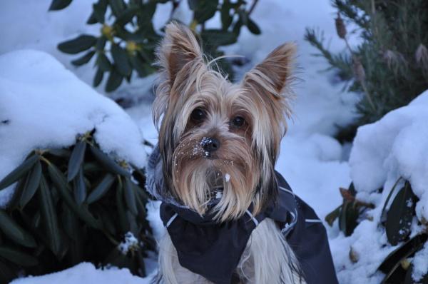 Miss Chloe Loving the Snow by CarolineH120