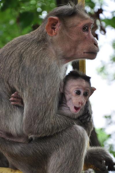 Baby monkey yawning by chato