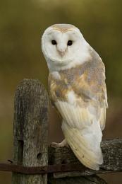 Barn Owl (c)