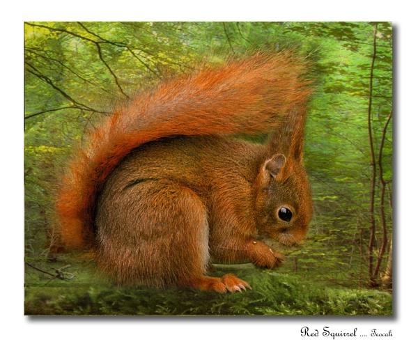 Red Squirrel (Sciurus vulgaris) by teocali
