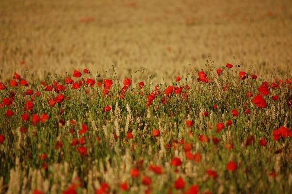 Poppy Field by cathsnap