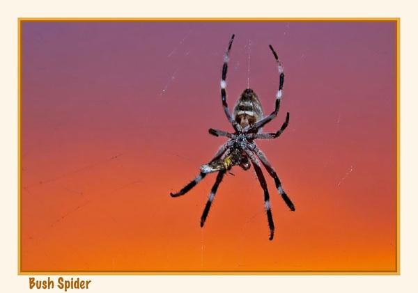 Bush Spider by Joeblowfromoz