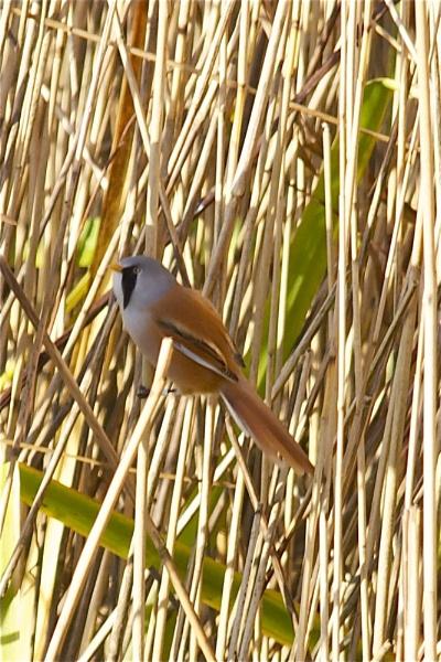 Bearded Tit-solo in reeds by PaulLiley