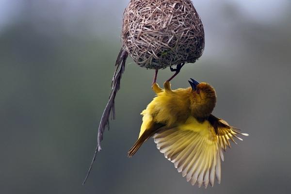 Yellow weaver weaving by DennisT