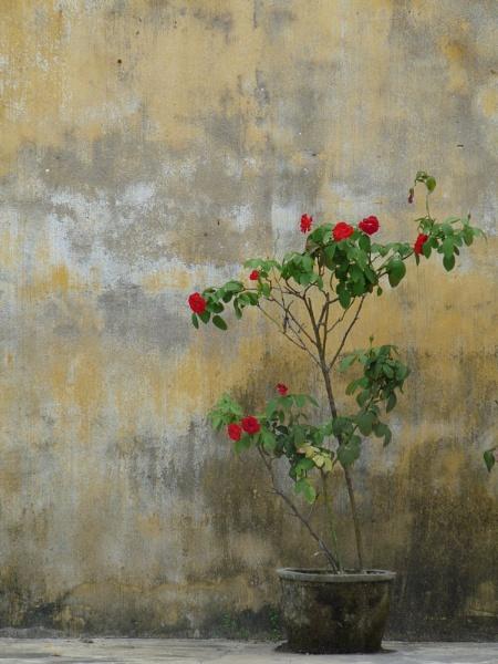 Rose bush... by chrisdunham
