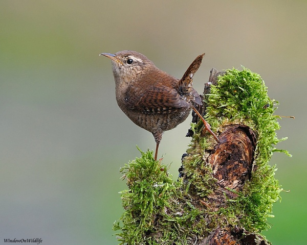 Wren by WindowonWildlife