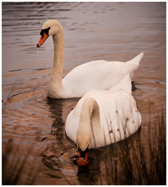 Swan Lake -Two by JulieLetten