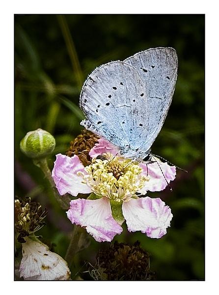 Holly Blue on Brambles by Glostopcat