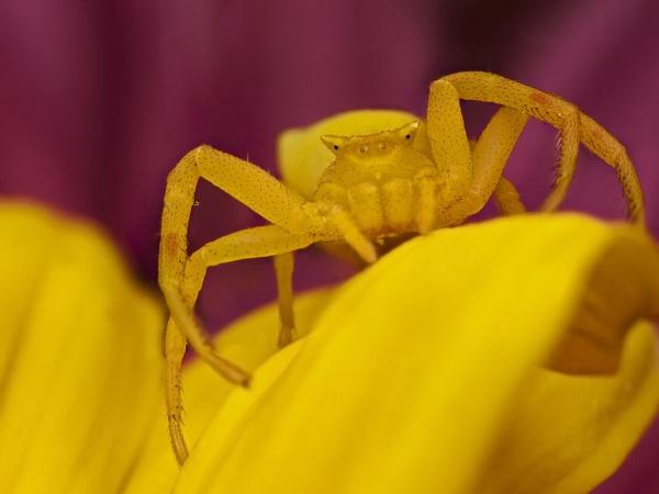 Crab Spider by zanzibarwinds