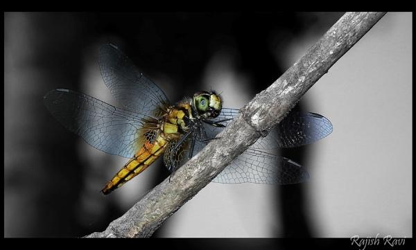 Dragon Fly by rajishravi