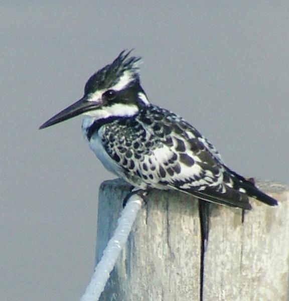 Pied Kingfisher by JuBarney