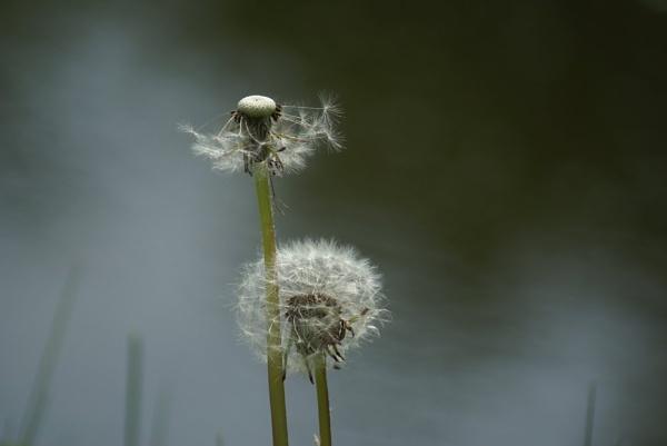 Dandelion seed head by Calvin_Photographs