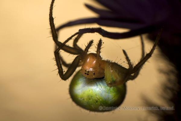 creepy orb spider by irishdomo1