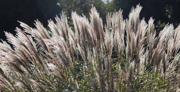 Backlit Grasses by GedC