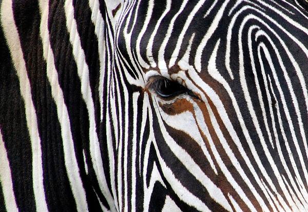 Zebra Maze by TraceyPaper