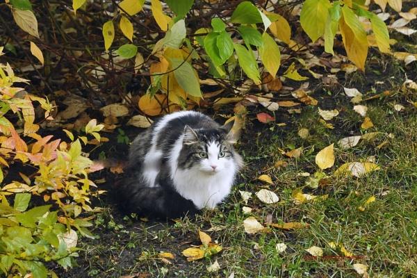 Mussu,the cat. by kuvailija