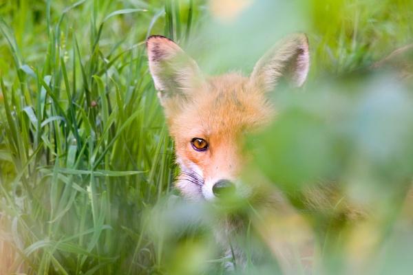 Shy fox by xleex