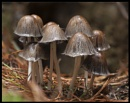Fairy Inkcap by harrattp
