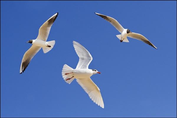 Gulls in Flight by nonac350d