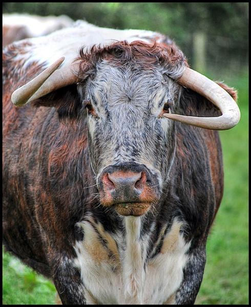 Welsh Longhorn by swanseamale47