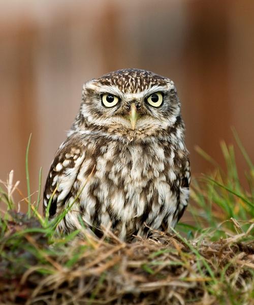 Little Owl (c) by DannoM