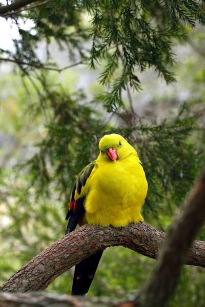 Regent Parrot (Male) by boydmace
