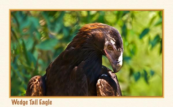 Australian Wedge Tail Eagle by Joeblowfromoz